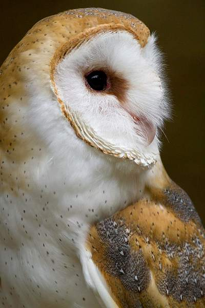Barn Owl, Side Portrait Emphasizing Facial Disk