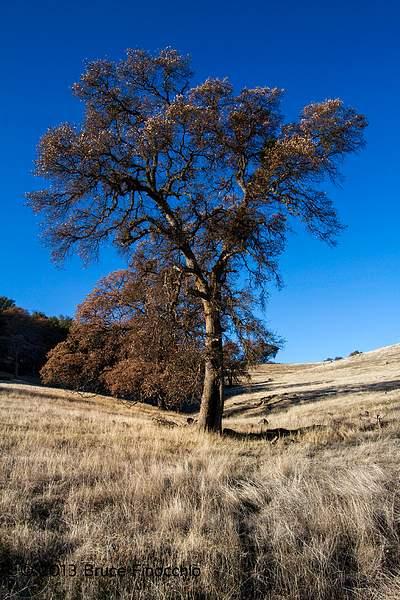 Dry Creek Black Oak