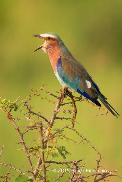 Lilac-breasted Roller Calls Out In The Early Morning Light