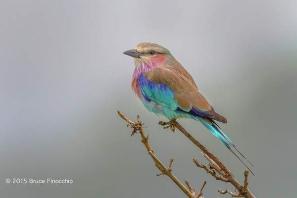 Lilac-breasted Roller On Perch