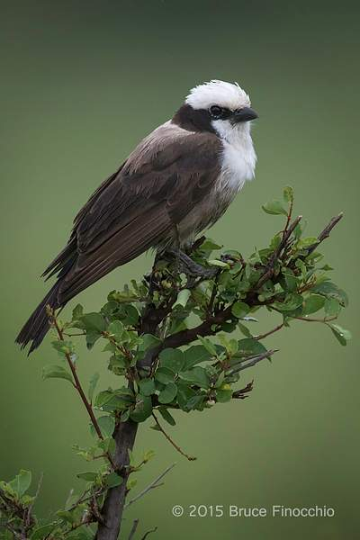 Northern White-crowed Shrike Portrait