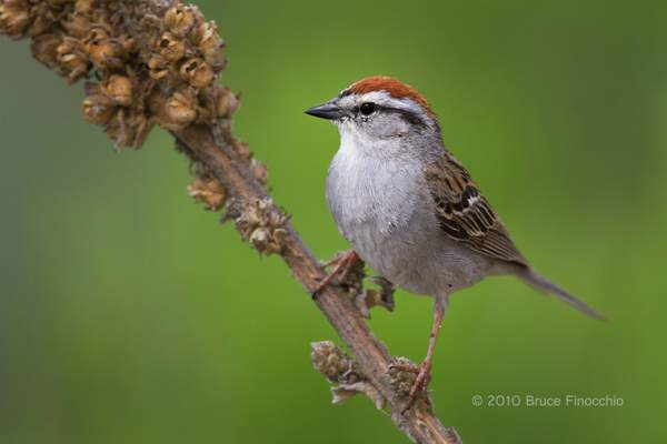 Chipping Sparrow Portrait