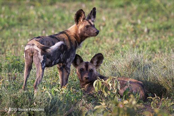 Young_Wild_Dogs_Members_Of_The_Ndutu_Pack_BF51198D7c