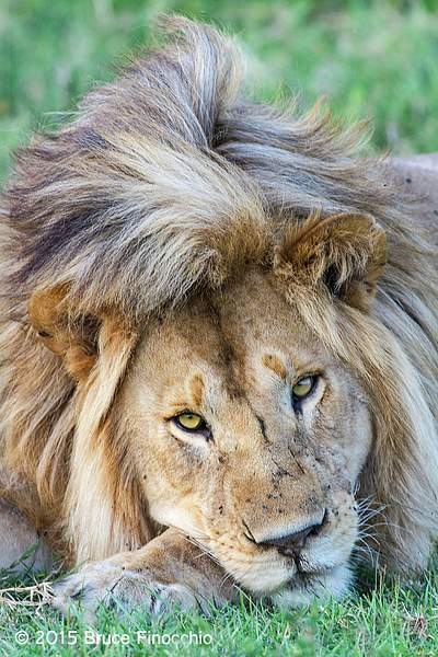 Male Lion Rest His Head On His Paw
