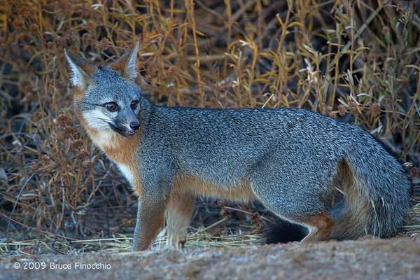 An Alert Gray Fox Checks Behind