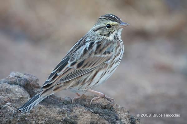 An Alert Savannah Sparrow Perch On A Old Stump