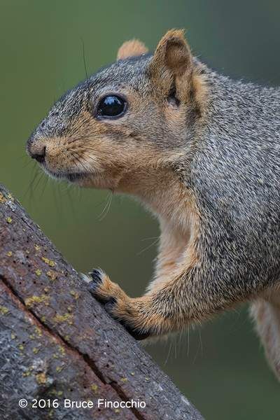 Red Tree Squirrel Leans Against Tree Trunk