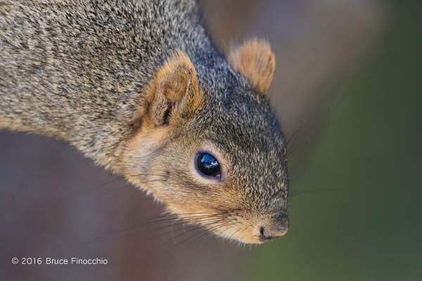 Red Tree Squirrel Peers Downward