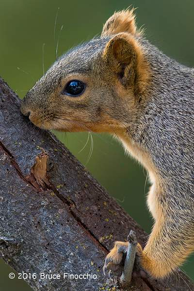 Red Tree Squirrel Touching With Its Mouth A Big Branch's Bark