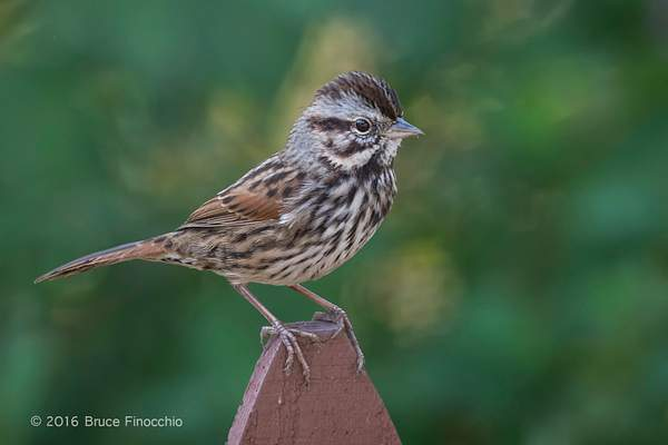 Song Sparrow Perches On A Fence Picket