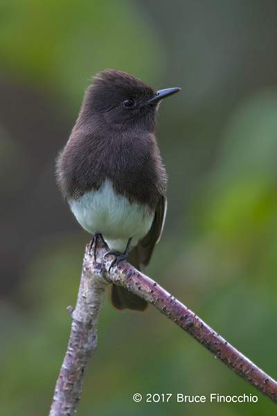 Black Phoebe Resting And Watchful