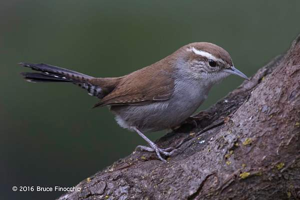 Bewick's Wren Looks For Insects Within Tree Bark