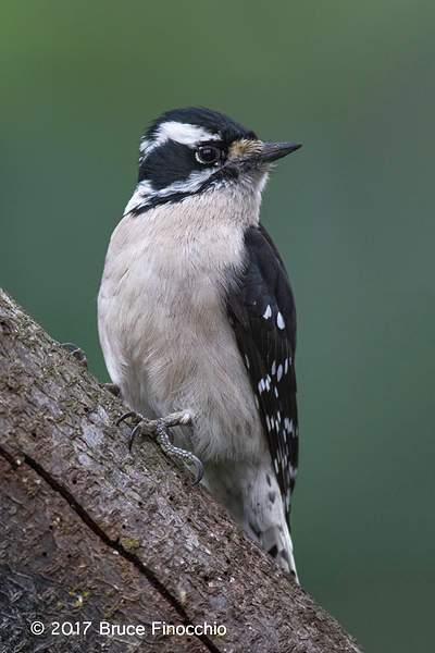 Female Downy Woodpecker Alert Yet Relaxed