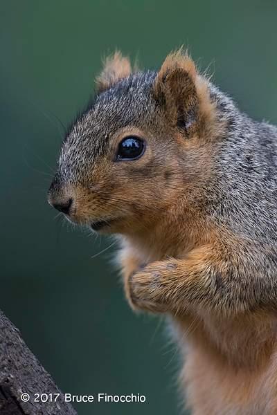 An Apprehensive Fox Squirrel