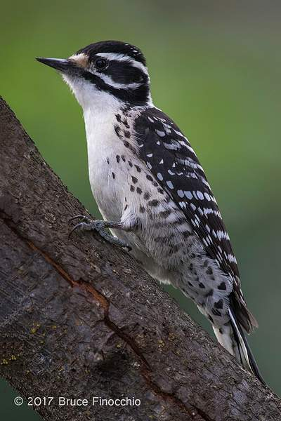 Female Nuttall's Woodpecker Perched On A Tree Trunk_BH11934D7IIc