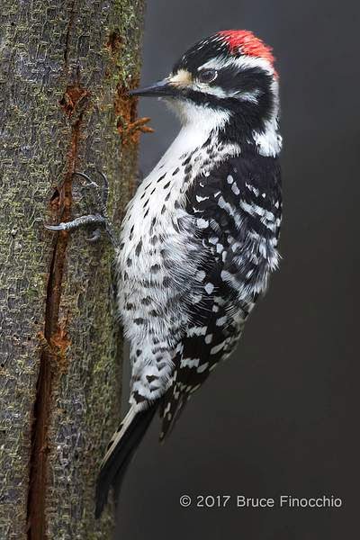 Male Nuttall's Woodpecker Chipping Bark