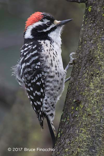 Male Nuttall's Woodpecker Ruffles Feathers
