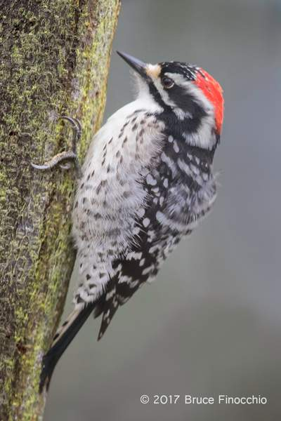 Nuttall's Woodpecker Perched On Side Of Tree Trunk
