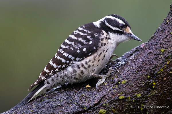 Female Nuttall's Woodpecker Checking Out Tree Trunk