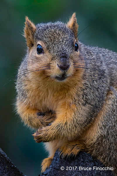 Fox Squirrel Stare Down Expression by BruceFinocchio