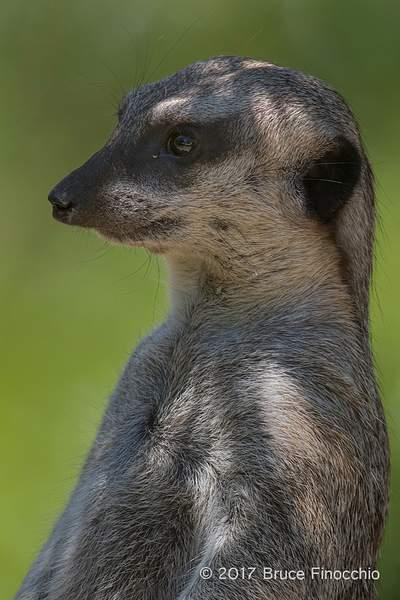 Relax Yet Alert Slender-Tailed Meerkat BH50828D7IIc