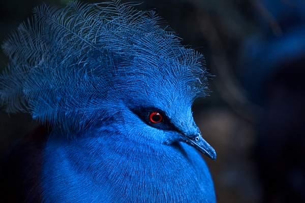 Blue_Crowned_Pigeon