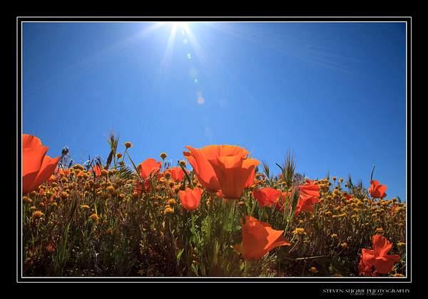 California_Poppies-1
