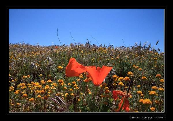 California_Poppies-2