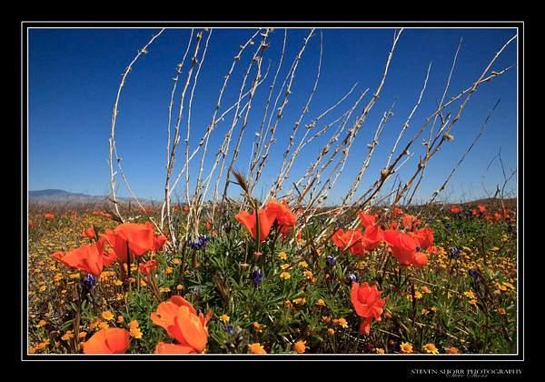California_Poppies-3