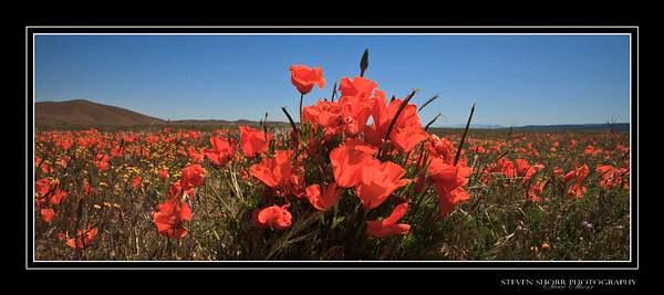 California_Poppies-4