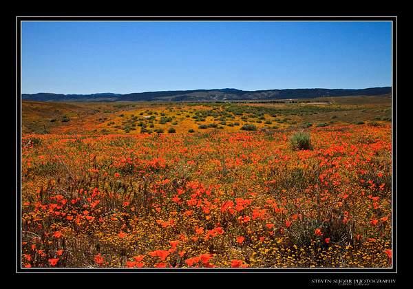 California_Poppies-6