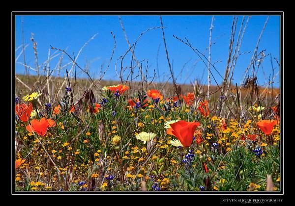 California_Poppies-7