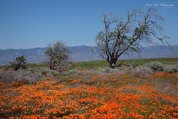 California_Poppies-10