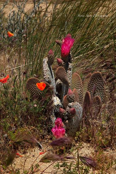 California_Poppies-12