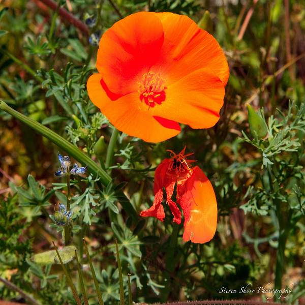 California_Poppies-13