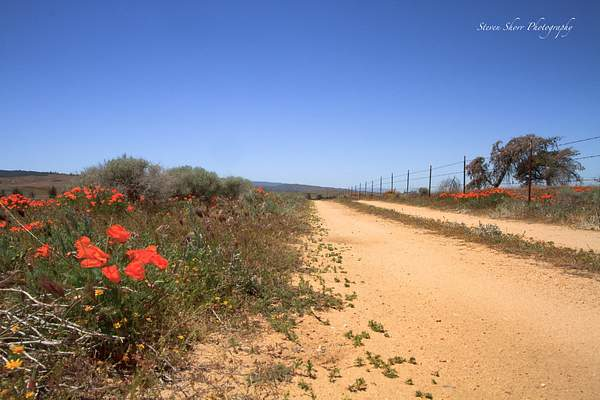 California_Poppies-14