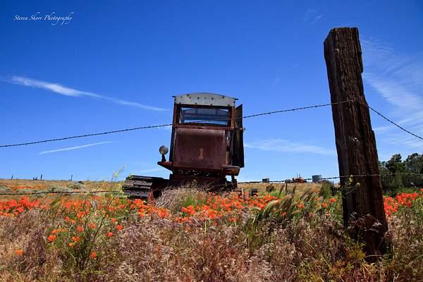 California_Poppies-15