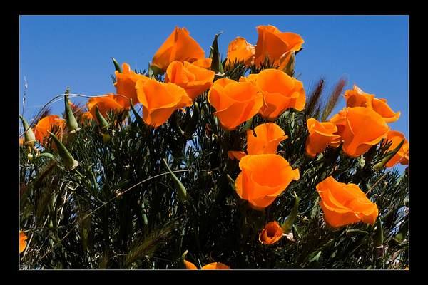 Poppies_Fr