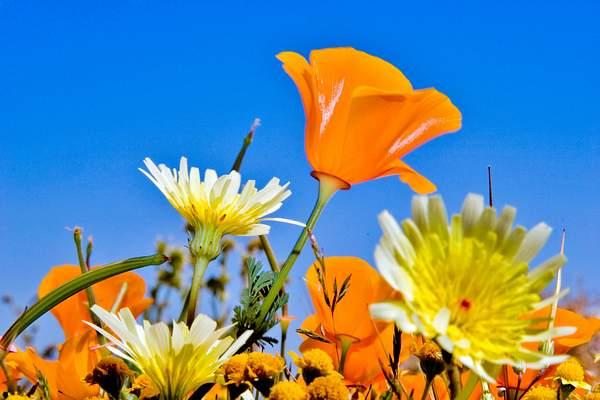 Poppy_Wildflower_103