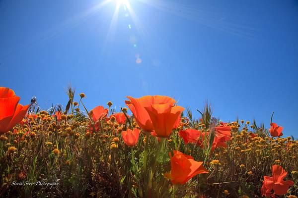 Sun_Kissed_Poppies