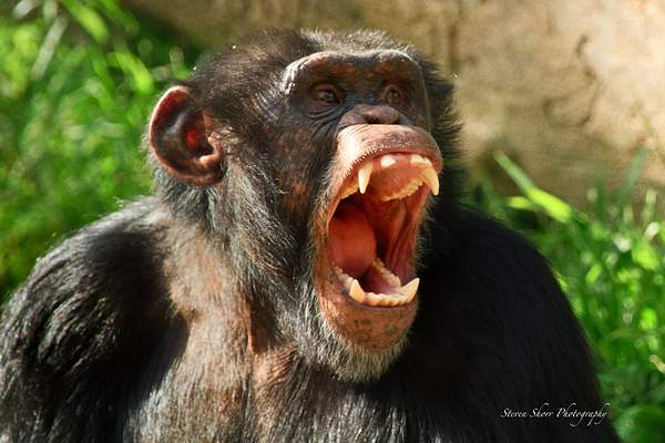 Twilight Chimp