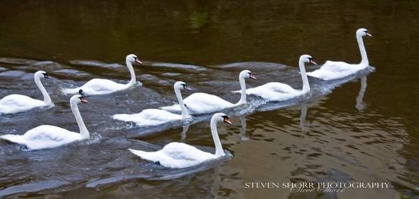 Swans of Kenmare