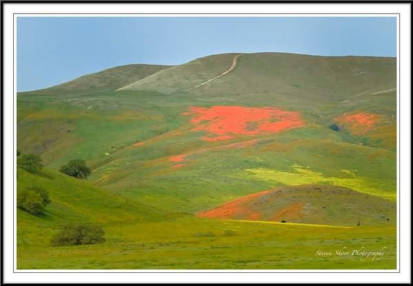 CA Hwy 46 Poppies