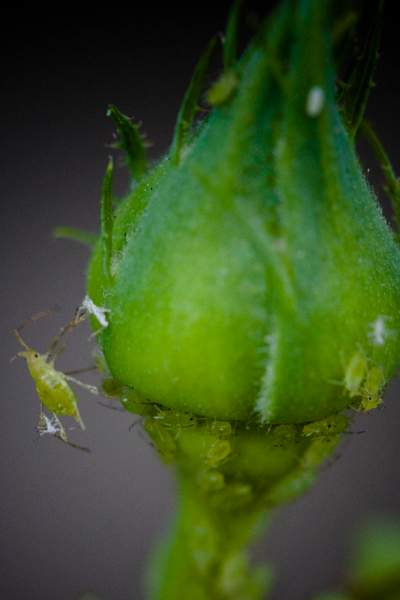 Aphids 1