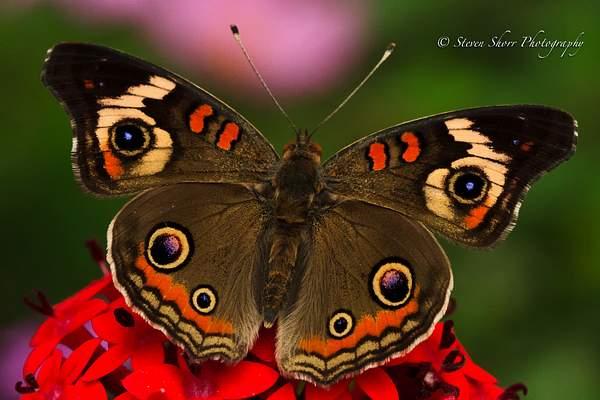Buckeye Butterfly 1