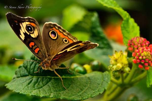 Buckeye Butterfly 2