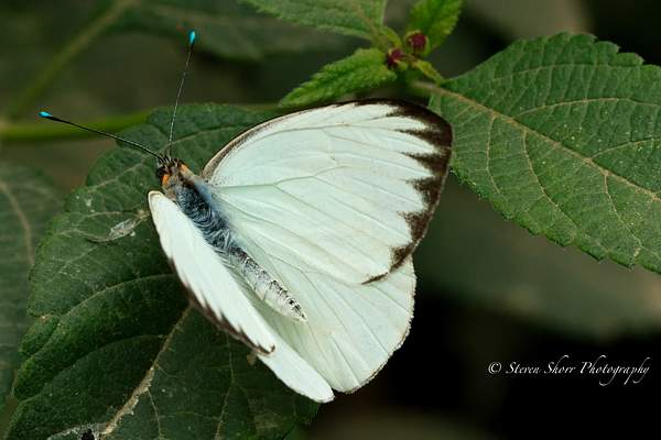 Great Southern White 2