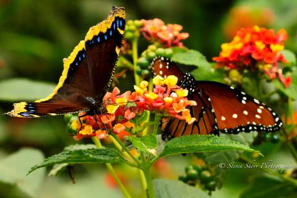 Mourning Cloak and Queen