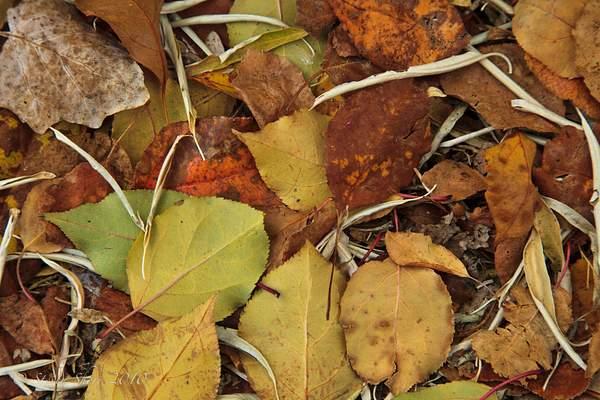Autumn_Leaves_4