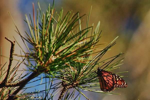 Monarch_Butterflies-Pismo-2011-4
